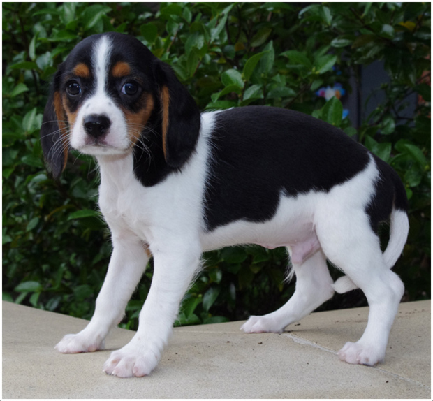 Beaglier Facts Pictures Puppies Breeders Shedding