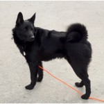 Black Norwegian Elkhound