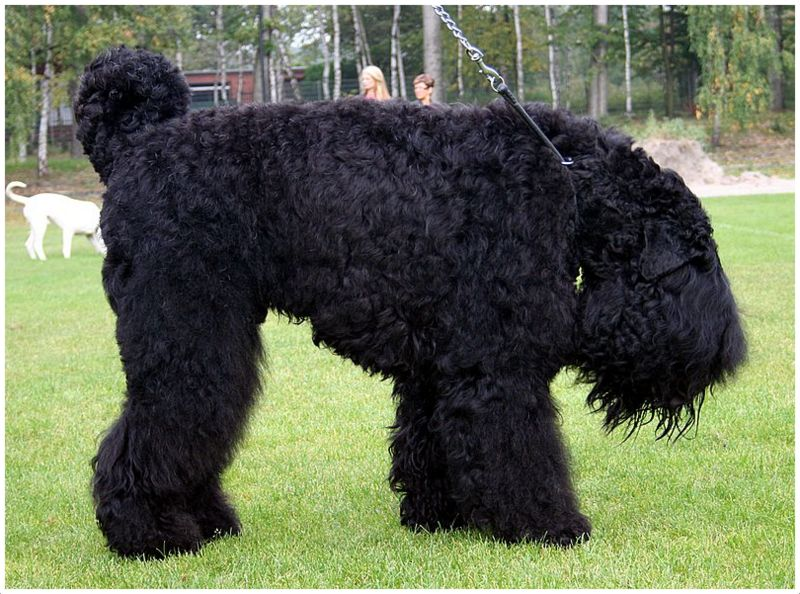 Black Russian Terrier Puppies Facts Breeders Pictures