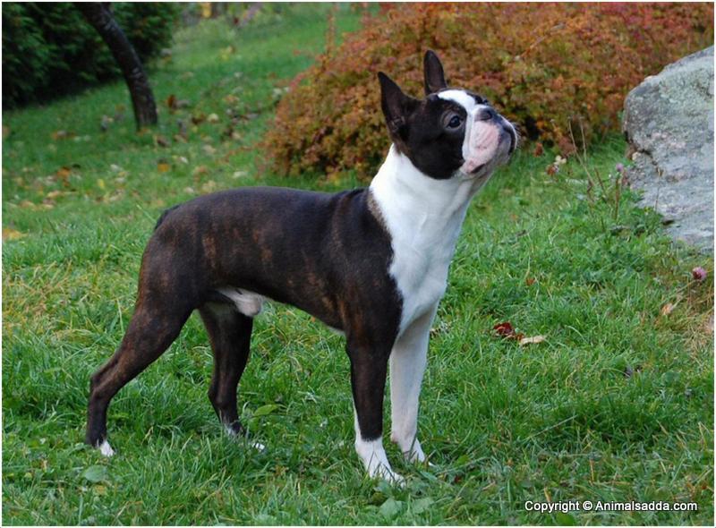 Boston Terrier Puppies Facts Pictures Price Temperament