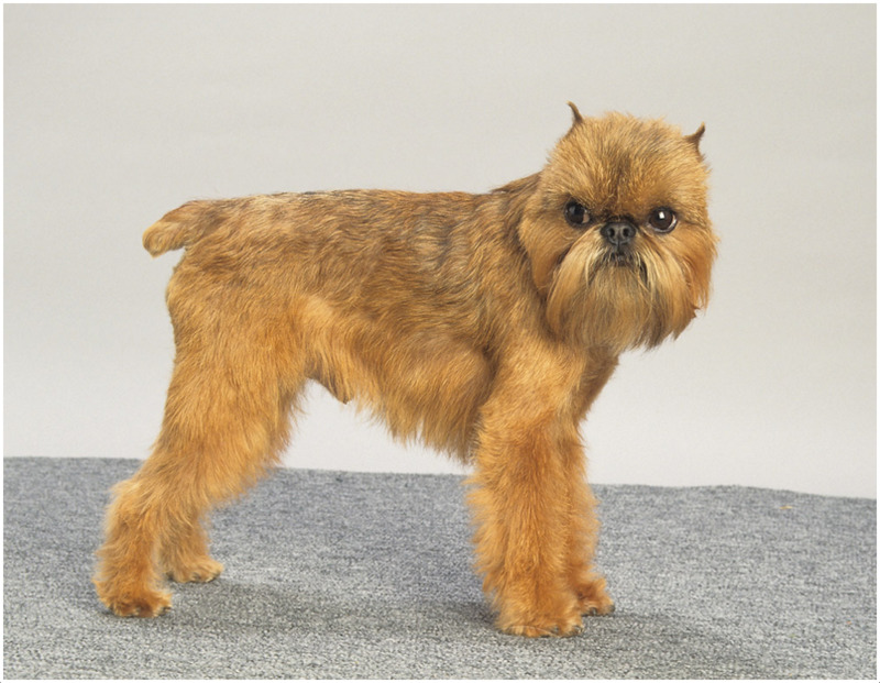 Where Can I Get A Brussels Griffon Dog