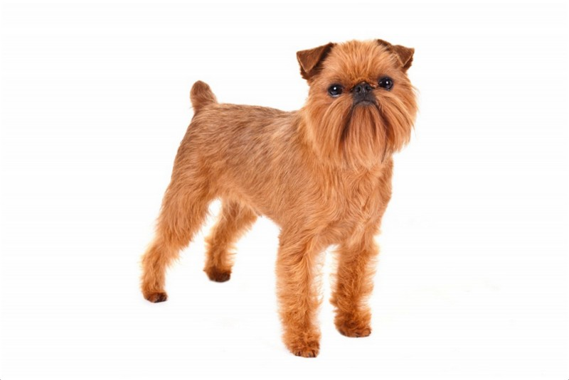 Brussels Griffon Puppies Breeders Pictures Facts