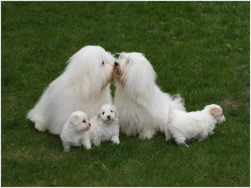 Coton De Tulear Facts Puppies