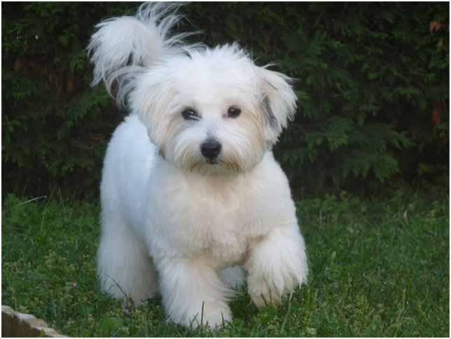 Coton de Tulear - Facts, Pictures, Temperament, Price ...