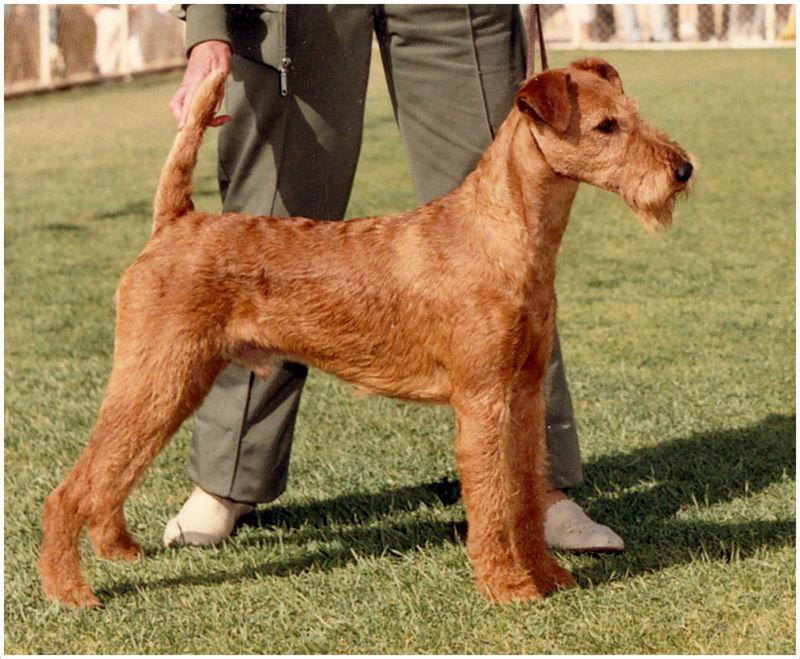Irish Terrier Pictures Facts Puppies Breeders Price Temperament Animals Adda