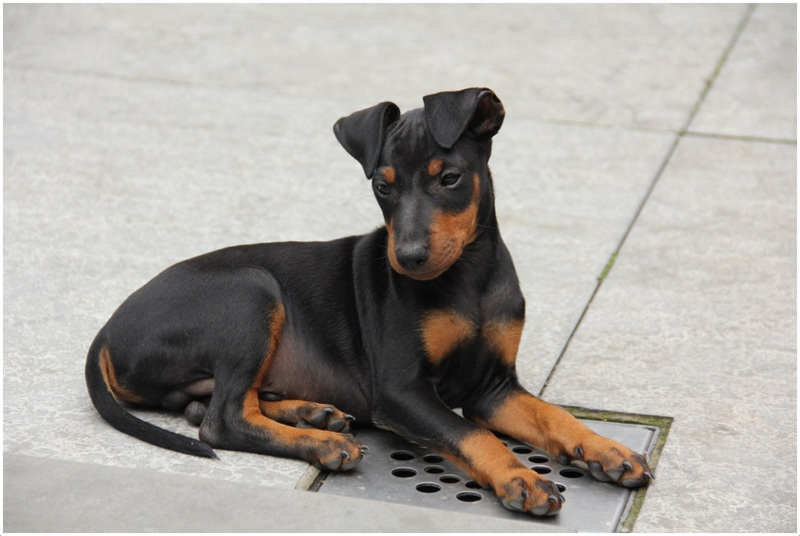 Manchester Terrier Toy Puppies Pictures Facts Info