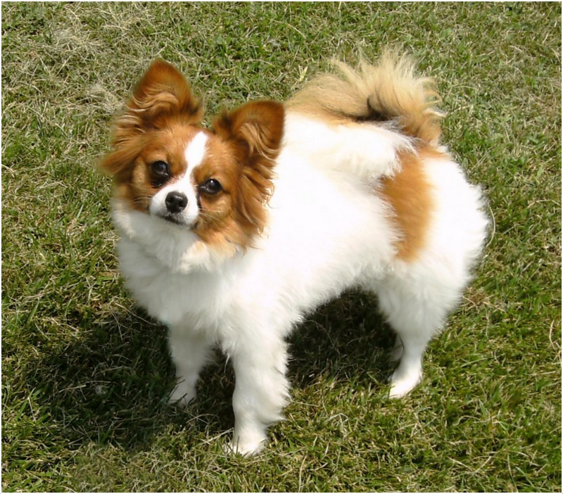 Papillon Dog Breed Facts Pictures Puppies Grooming Diet