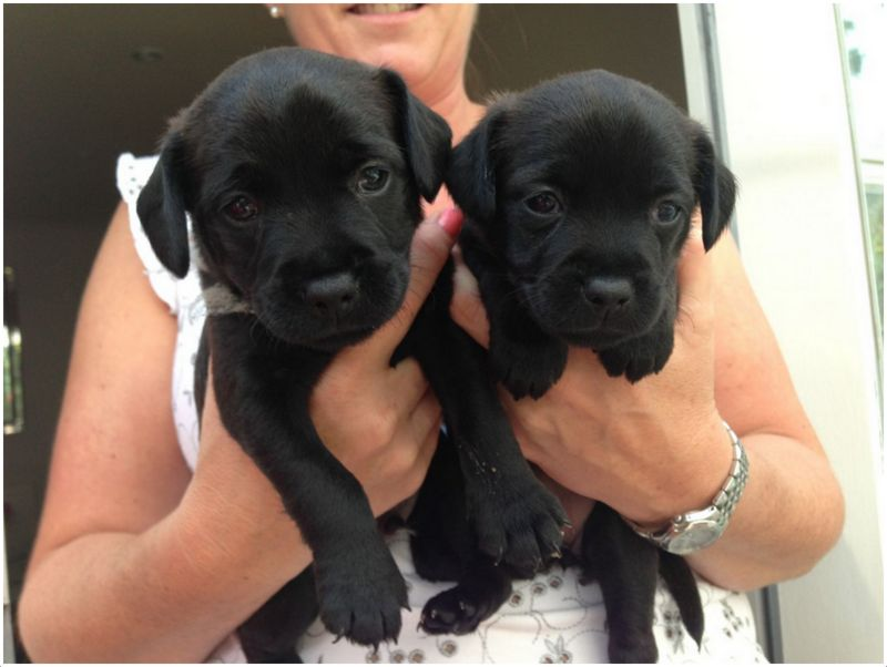 Patterdale Terrier Breeders Puppies Facts Pictures