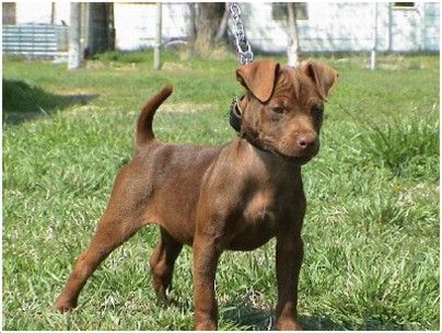 Patterdale Terrier Breeders Puppies Facts Pictures Temperament