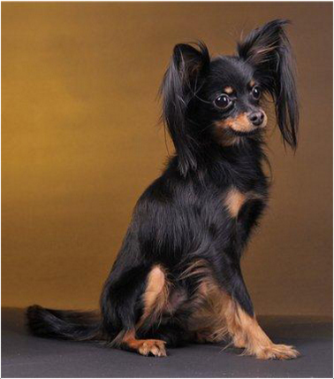 Russkiy Toy - Breeders, Puppies, Facts, Pictures, Price ...