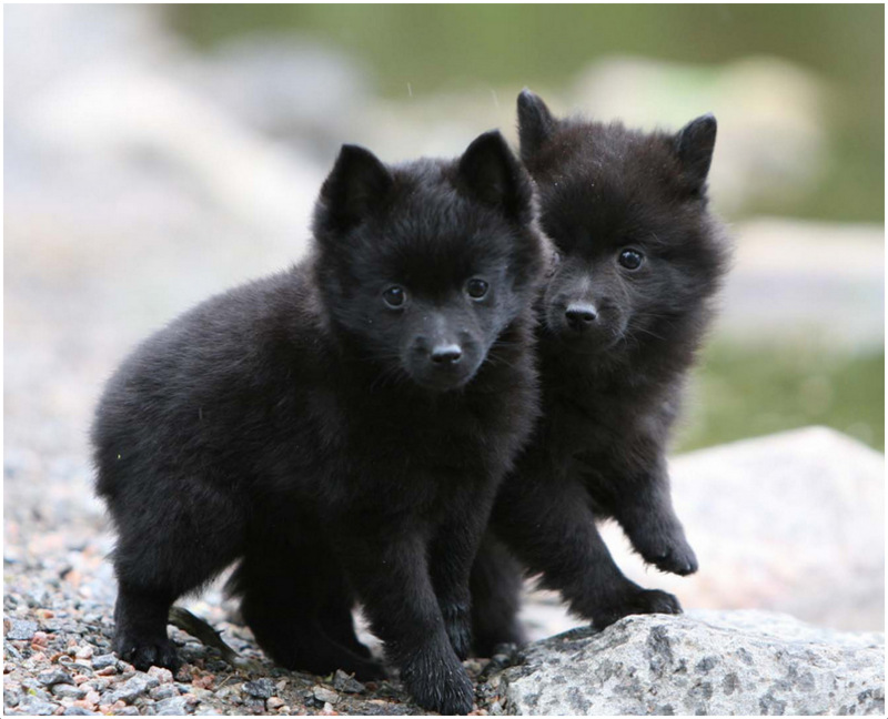 schipperke puppies breeders pictures facts temperament