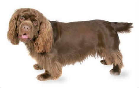 Sussex Spaniel Puppies Breeders Pictures Facts Temperament