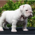 Toy Bulldog