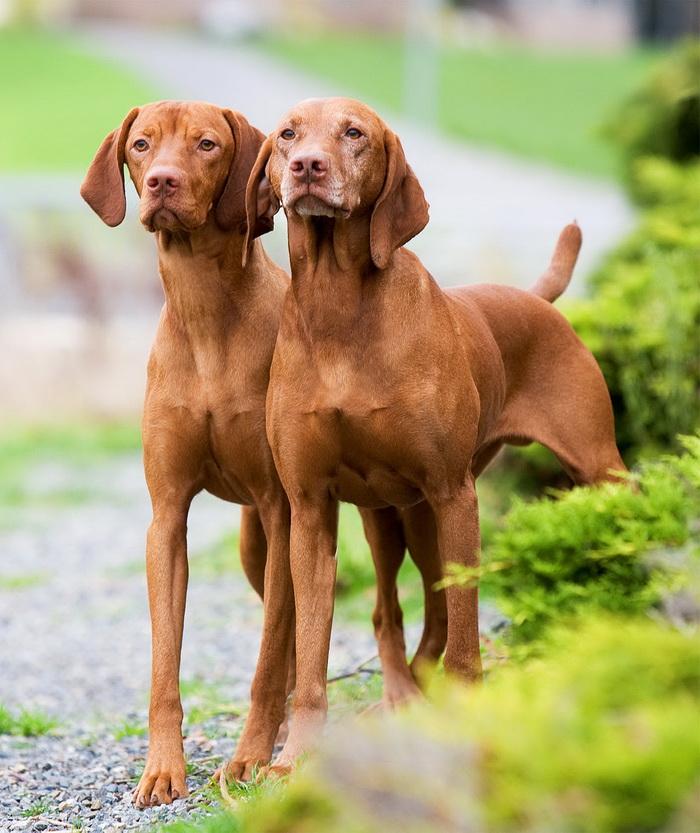 Dog Breeds Vizsla Picture