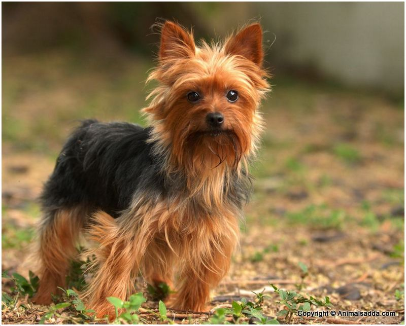 Yorkshire Terrier Puppies Pictures Facts Temperament