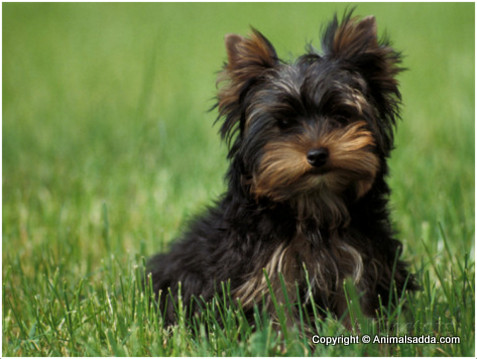 Yorkshire Terrier - Puppies, Pictures, Facts, Temperament