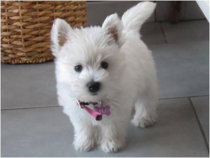 west highland white terrier price