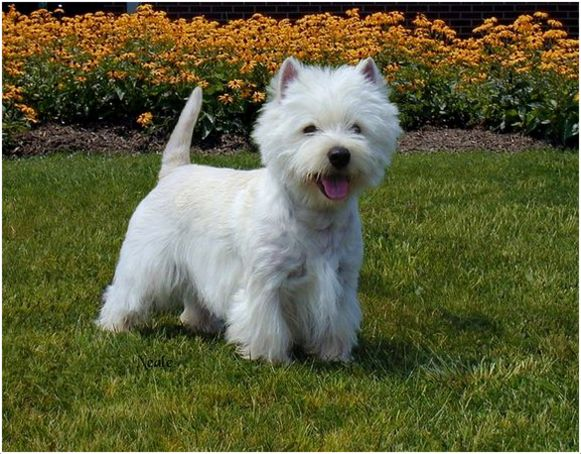 West Highland White Terrier - Breeders, Puppies, Pictures