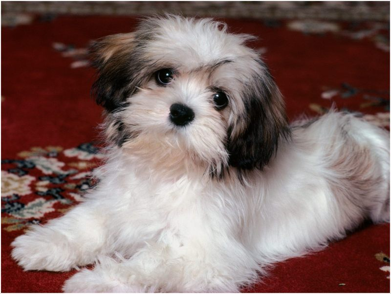 average price havanese puppy