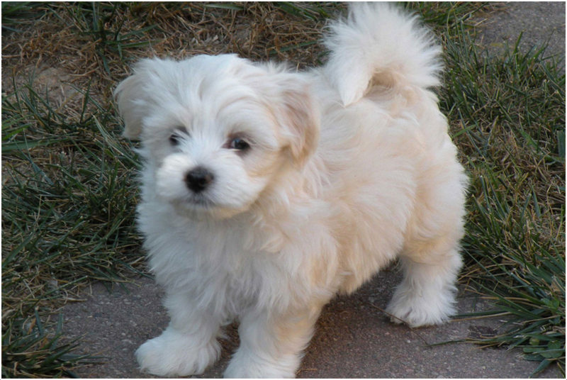 Grooming Havanese Dogs Video