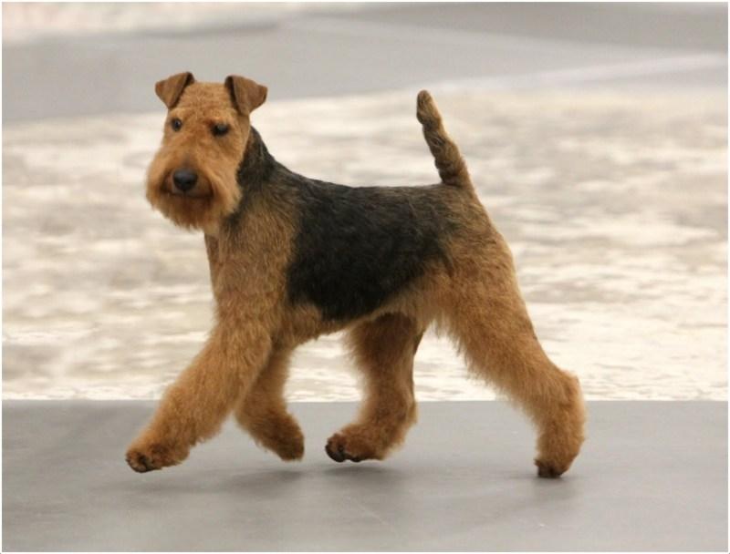 Welsh Terrier Puppies Breeders Facts Pictures Temperament