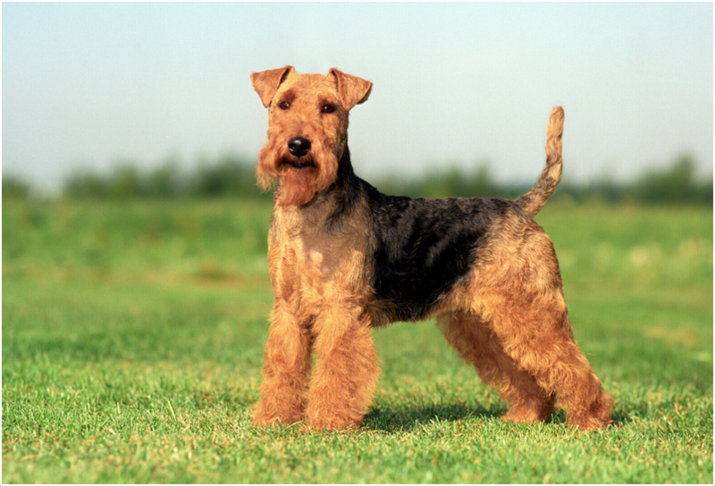 Pictures Of Welsh Terrier Dogs