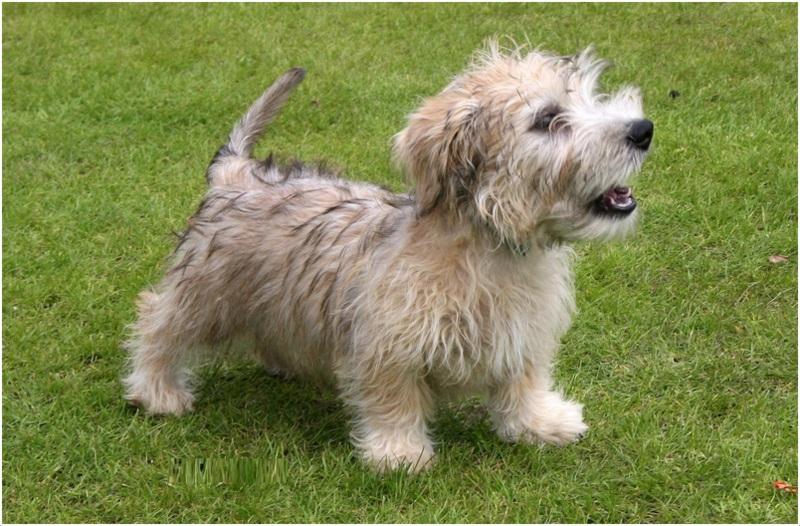 Dog Breed Glen Of Imaal Terrier