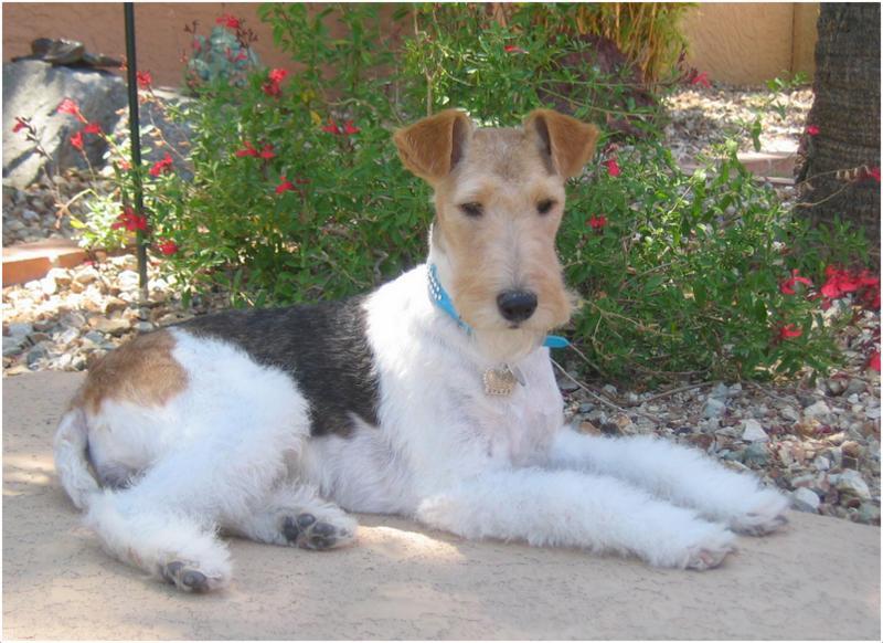 Wire Fox Terrier Puppies Breeders