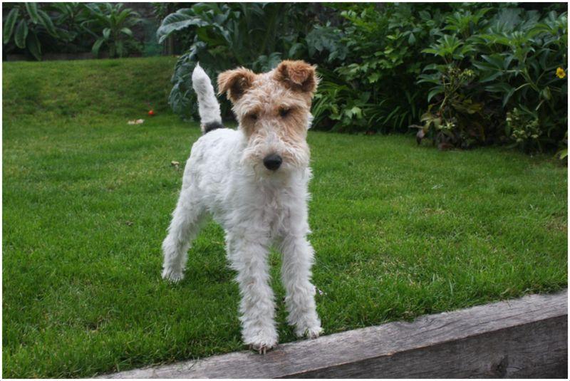 Wire Fox Terrier - Puppies, Breeders, Facts, Pictures, Temperament ...
