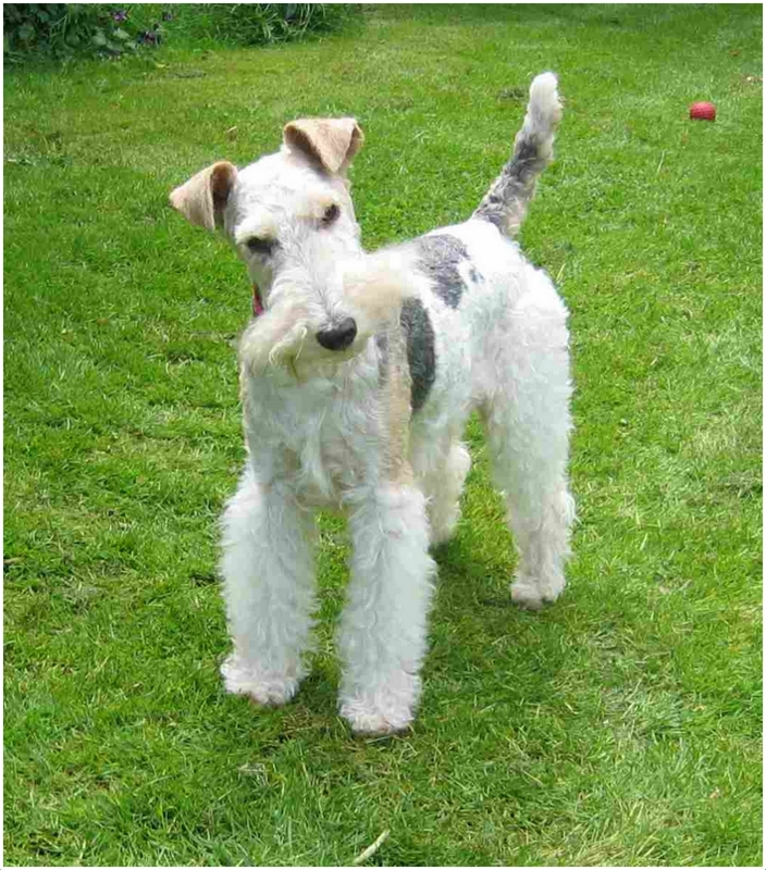 wire fox terrier haircut wire hair fox terrier haircut haircuts models ideas 5700