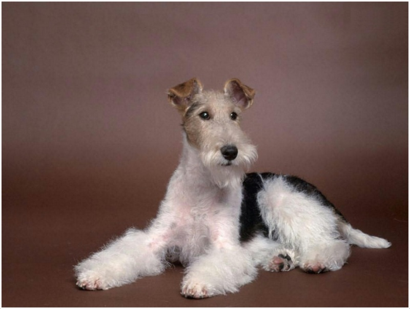 Wire Haired Fox Terrier Dogs For Sale