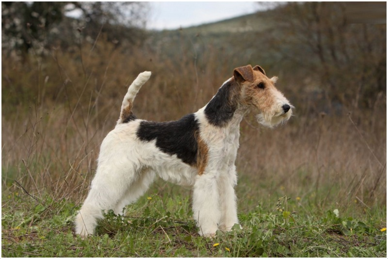 Wire Fox Terrier Puppies Breeders Facts Pictures