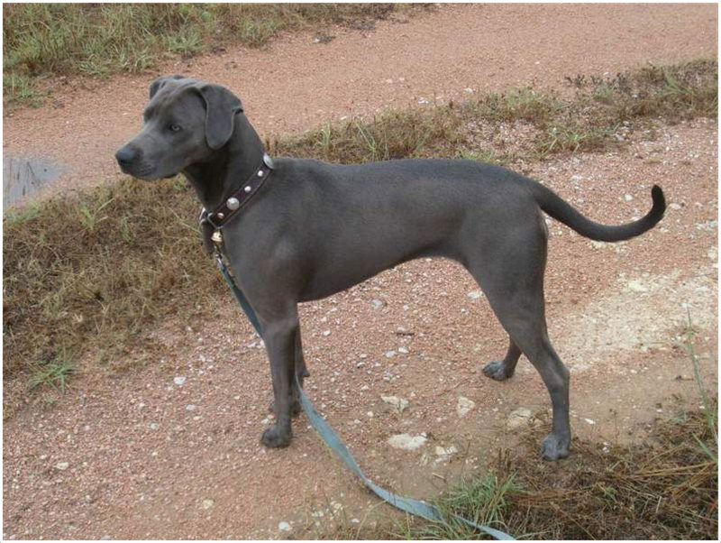 blue lacy dog for sale
