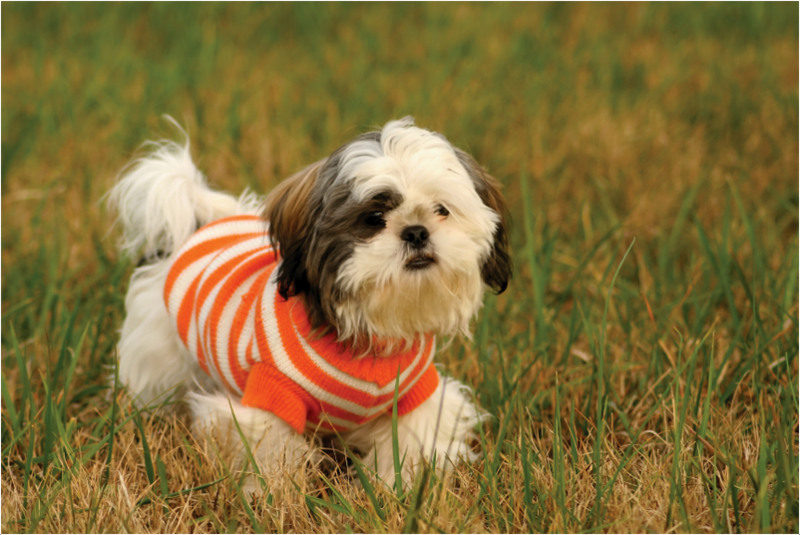 Shih Tzu Facts Pictures Puppies