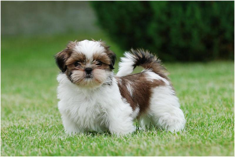 Shih Tzu Facts Pictures Puppies Temperament Price Training