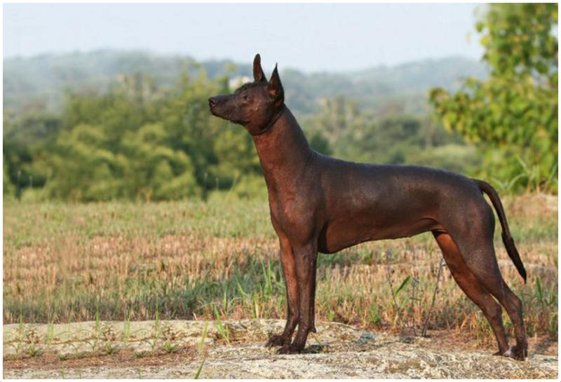 Mexican Hairless Dog Xoloitzcuintle Facts Pictures