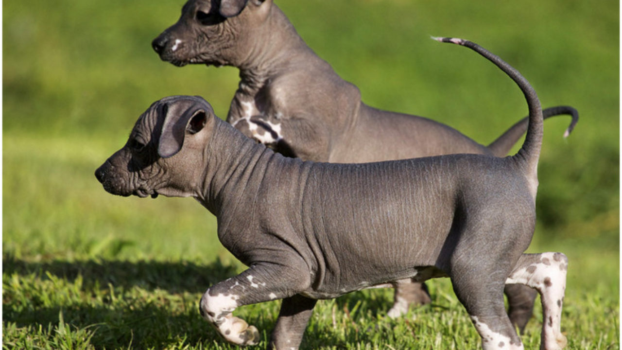 Mexican Hairless Dog Xoloitzcuintle Facts Pictures Price