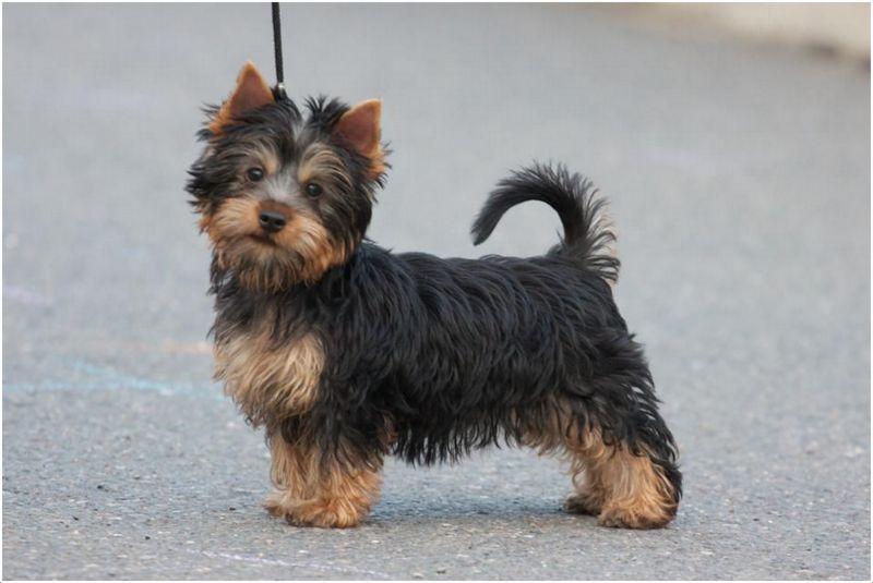 Australian Silky Terrier Pictures Facts Breeders Puppy Price Animals Adda