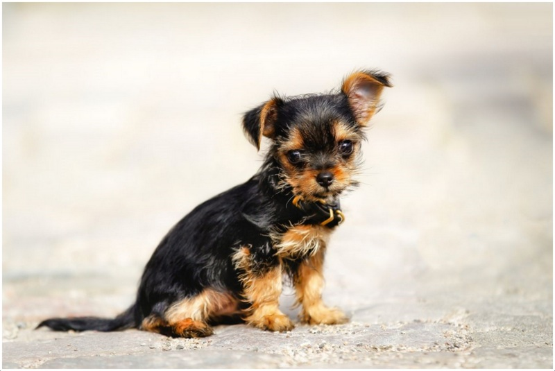 Chorkie Dog Facts Pictures Puppies Prices Breeders