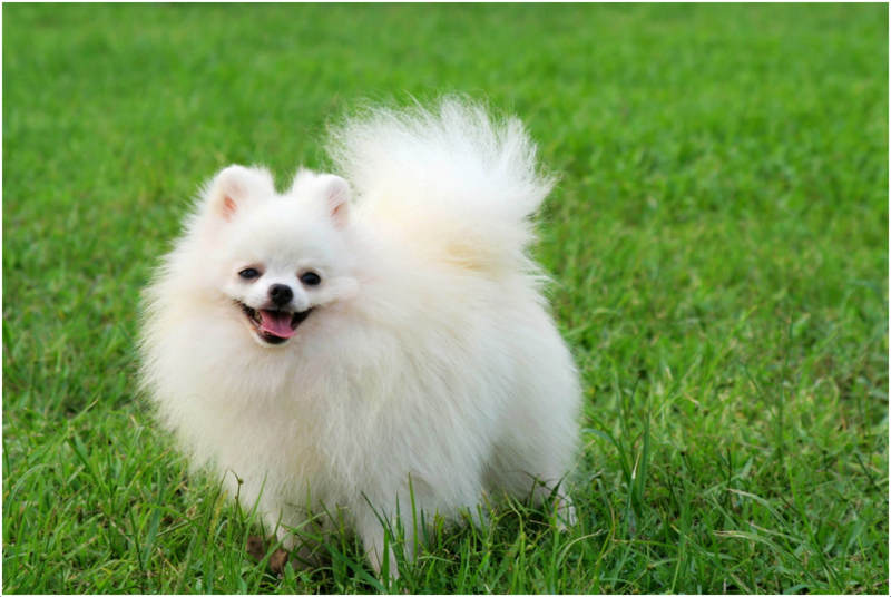 Pomeranian Dog Facts Pictures Price Information Puppies