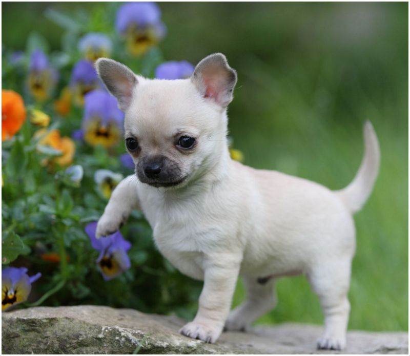 Chihuahua Dog Facts Pictures Temperament Puppies