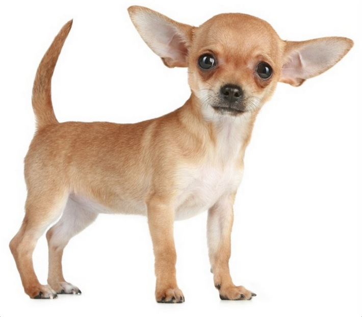 Chihuahua (Dog) - Facts, Pictures, Temperament, Puppies