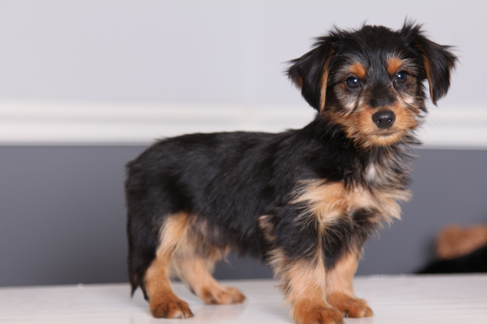 Dorkie Dachshund Yorkie Mix Facts Pictures Information