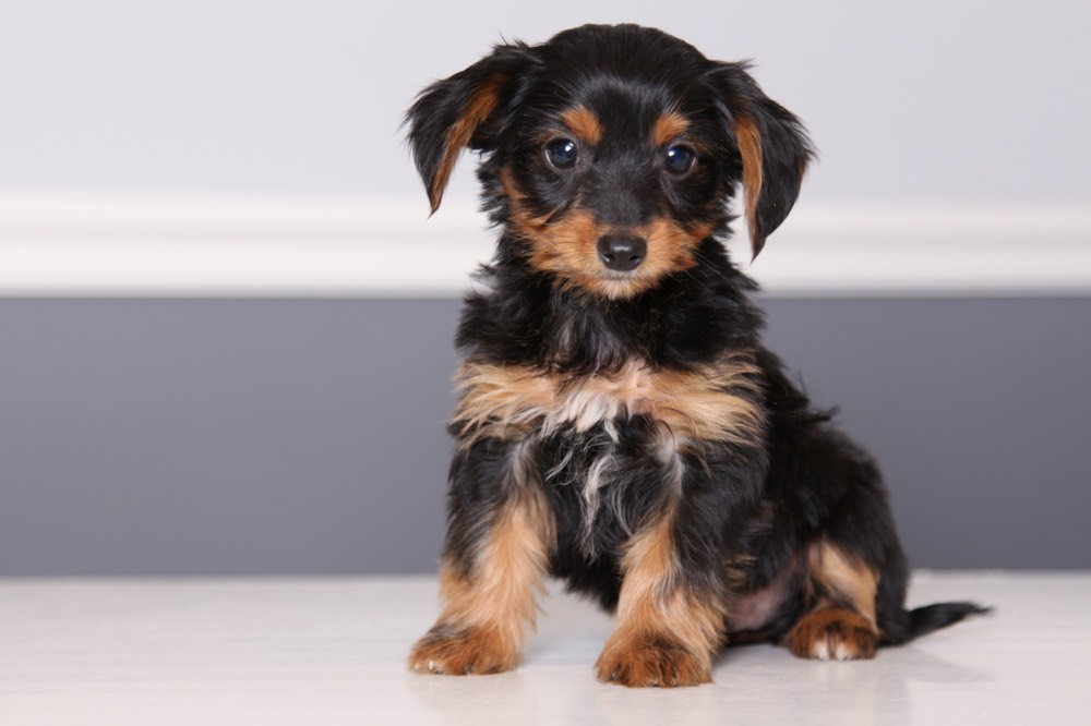 Dorkie (Dachshund-Yorkie Mix) - Facts, Pictures ...
