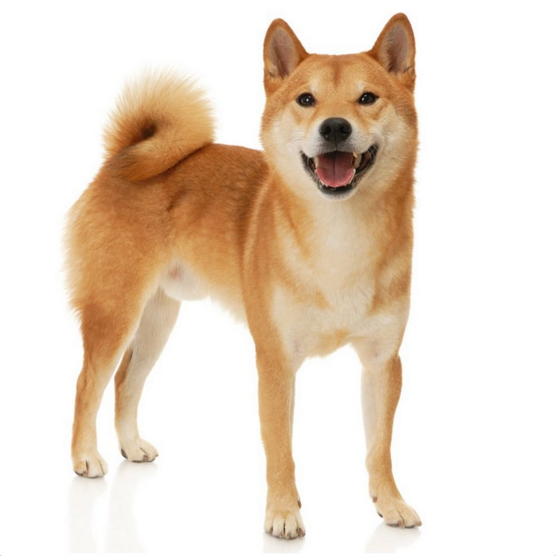 Shiba Inu Facts Pictures Puppies Price Temperament