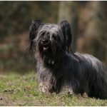 Skye Terrier – Facts, Pictures, Puppies, Breeders, Temperament