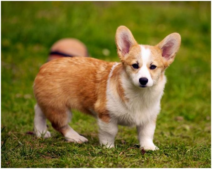 Are Corgis Good With Other Dogs
