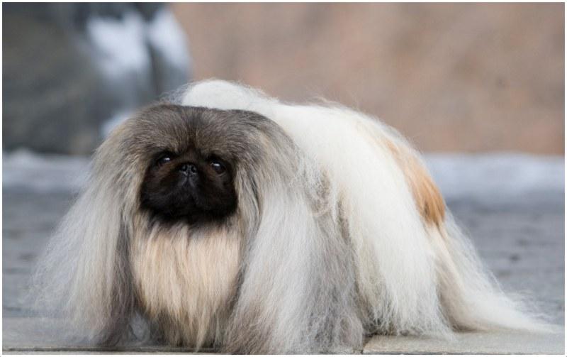 How Long Can Pekingese Dog Live