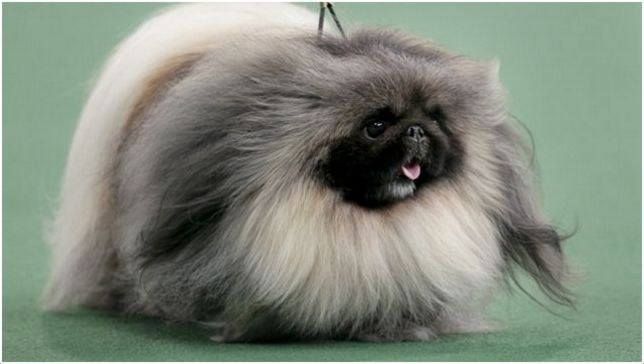 What does a shih tzu dog look like