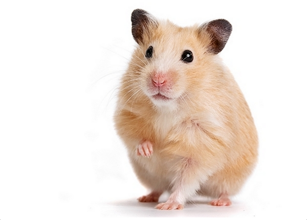 What Is The Best Food For A Winter White Hamster